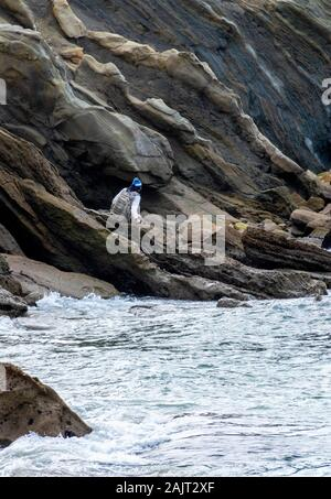 A man is hiking on the rocks of a cliff on the beach during low tide. Wood's Cove is a small pocket beach with high cliffs and striations in the rock. - Stock Photo