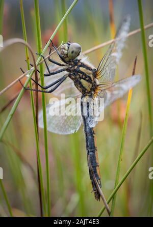 Female Black Darter (Sympetrum danae) dragonfly on grass, Glen Feshie, Scotland, UK. - Stock Photo