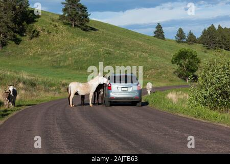 A family of feral donkeys walking in and next to a roadway with tourists in vehicles stopping to take pictures in Custer State Park, South Dakota. - Stock Photo