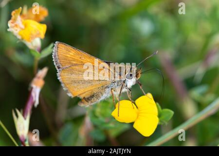 Lulworth Skipper (Thymelicus acteon) feeding on a yellow trefoil (Fabaceae) flower - Stock Photo