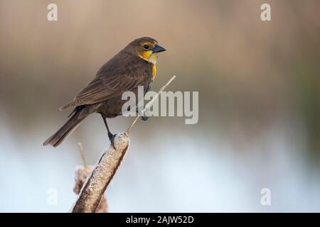 Yellow-headed blackbird female (Xanthocephalus xanthocephalus) perched on cattail seed head (Typha latifolia) in marsh - Stock Photo