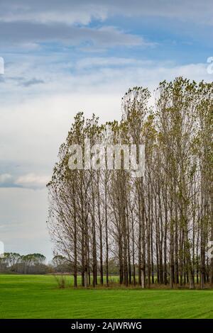 Poplar trees in row, Bulgarian late autumn green field near Zlato Pole village, Municipality of Dimitrovgrad, Haskovo province, Bulgaria, Europe. Amazing scenery landscape, beautiful sky - Stock Photo