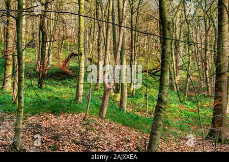 Winter sunlight on dense growth on a slope in a forest with a large fallen tree in the distance - Stock Photo