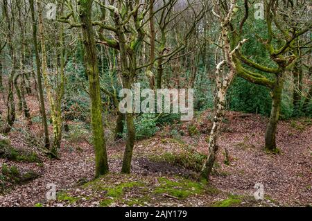 View of very dense growth down a steep slope in woodland with trees filling the far distance - Stock Photo