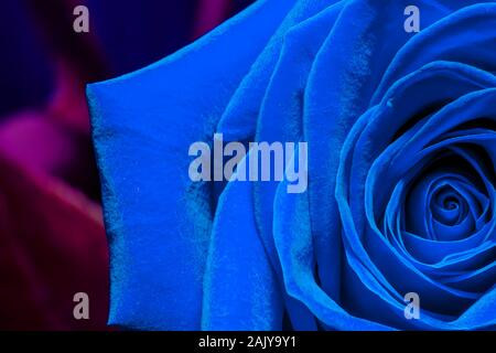 Creative macro photo of a rose flower close-up in color trend 2020 in dark blue colors - Stock Photo