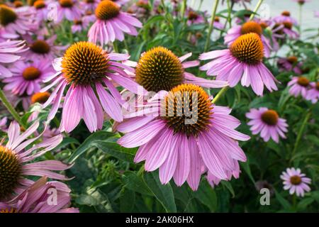 Colorful Echinacea flowers in a park - Stock Photo