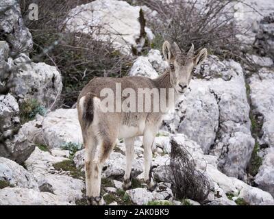 Hispanic Ibex (Capra Pyrenaica) Torcal de Antequera, Spain - Stock Photo
