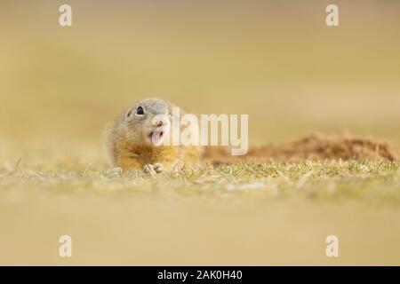 European Ground Squirrel, Spermophilus citellus, sitting in the grass during summer, detail animal portrait, Czech Republic. - Stock Photo