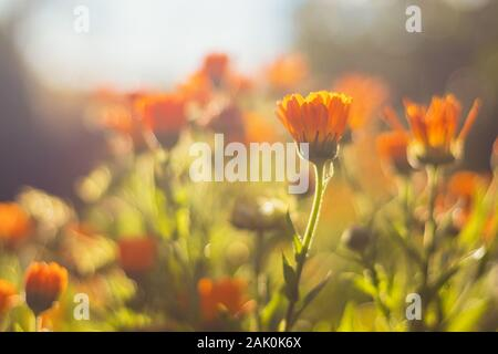 Marigold - beautiful orange flowers, in the garden, close up view, bright sunny day, blurred background - Stock Photo