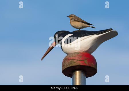 Juvenile Northern wheatear (Oenanthe oenanthe) perched on a wooden Eurasian oystercatcher (Haematopus ostralegus) figurine mounted on a pole against b - Stock Photo