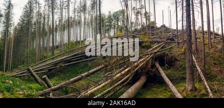uprooted trees - broken and fallen trees (spruces) in the forest, after a strong wind - Stock Photo