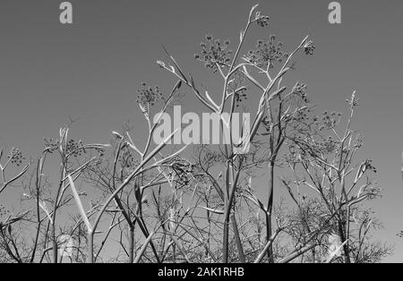 Wild fennel at the NZ beach - Stock Photo