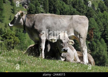 Kälber auf der Haider Alm in St. Valentin, Südtirol, Italien | usage worldwide - Stock Photo