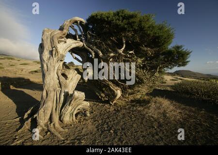 Wacholderbaum bei El Sabinar, El Hierro, Spanien | usage worldwide