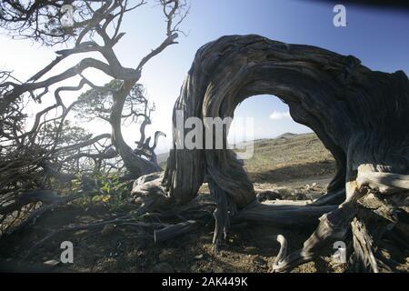 knorriger Wacholderbaum in der Nähe von El Sabinar, El Hierro, Spanien | usage worldwide