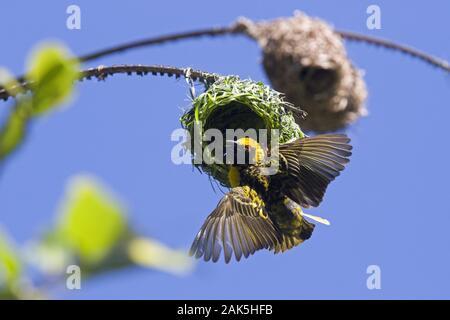 Kei Mouth bei East London: Webervogel beim Nestbau, Suedafrika | usage worldwide - Stock Photo