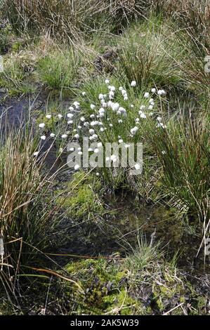 Naturpark Hohes Venn:  Wollgrasbluete im Hochmoor bei Monschau, Eifel | usage worldwide - Stock Photo