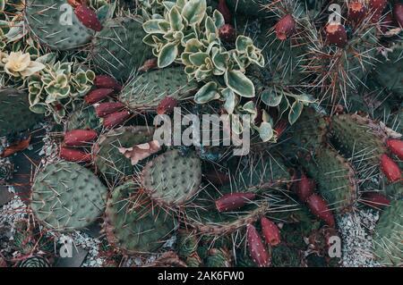 Succulents,echeveria kalanchoe succulent house plants.Aloe ostifolia is succulent herbaceous plant,species of the Aloe genus of the Asphodelaceae - Stock Photo