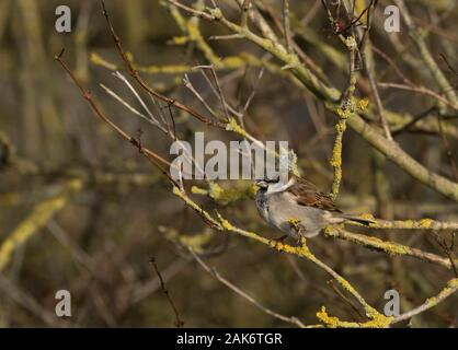 House Sparrow, Passer domesticus,  Single adult male perched in bush. Slimbridge, Gloucestershire, UK. - Stock Photo