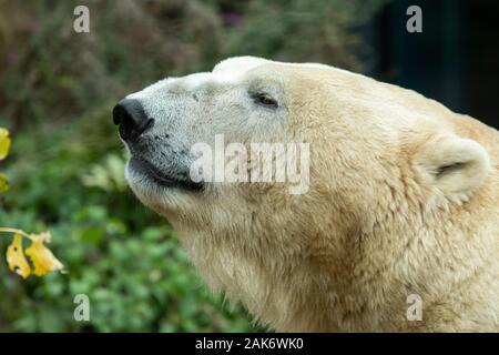 Portrait of a polar bear (Ursus maritimus) in a zoo - Stock Photo