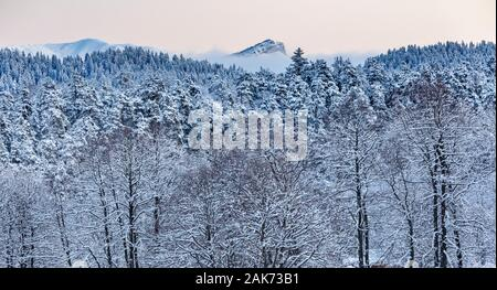 Coniferous forest in the mountains covered with snow