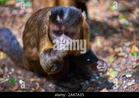 monkey in a tree and on the ground - Stock Photo