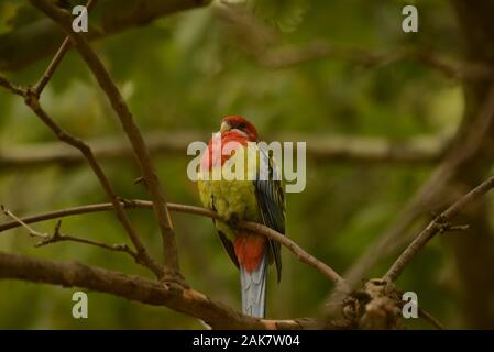 Eastern Rosella - Stock Photo