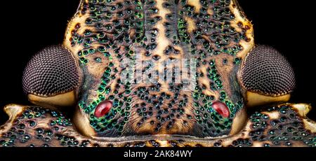 Dorsal view of a Stink Bug head - Stock Photo