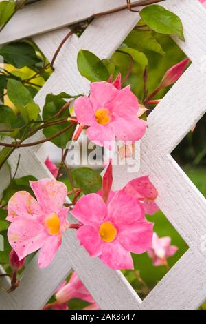 Close-up of pink and yellow Mandevilla sanderi flowers growing through a white wooden trellis fence in backyard garden in autumn. - Stock Photo