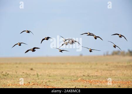 Yellow-throated Sandgrouse (Pterocles gutturalis), group in flight, Maasai Mara, Kenya. - Stock Photo