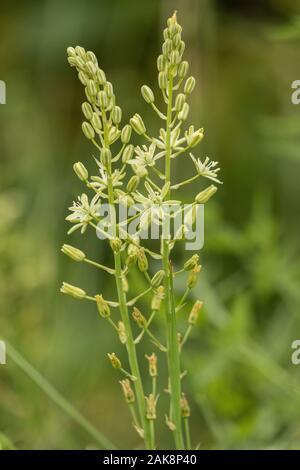 Bath Asparagus or Spiked star-of-Bethlehem, Ornithogalum pyrenaicum, in flower on roadside bank. - Stock Photo