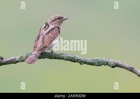 The Eurasian wryneck (Jynx torquilla) is a species of wryneck in the woodpecker family. - Stock Photo