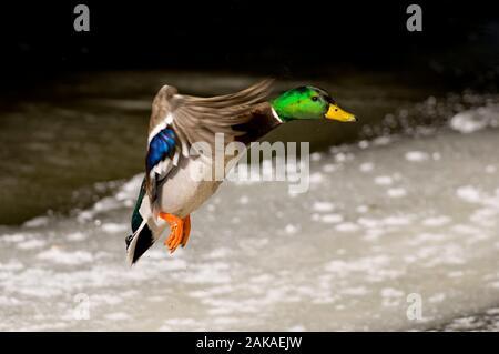 Male Mallard Duck coming in for a landing.