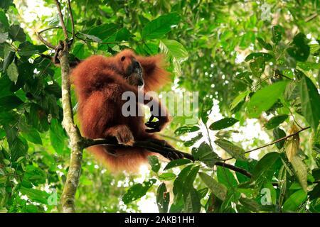 Orangutan female in gunung leuser national Park - Stock Photo