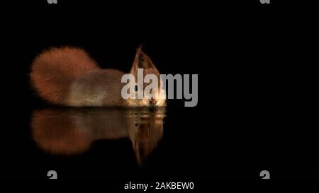 Beautiful Eurasian red squirrel (Sciurus vulgaris) swims in a pool of water  in the forest of Drunen, in the Netherlands. Black background. Reflection