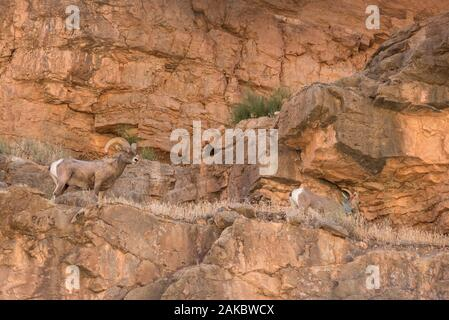 Desert bighorn sheep on a ledge above the San Juan River in Southern Utah. - Stock Photo