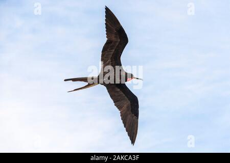 Ecuador, Galapagos archipelago, listed as World Heritage by UNESCO, Santa Cruz Island, South Plaza Island, Fregata magnificens male in flight - Stock Photo