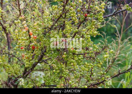 unripe currant berries on a branch on a bush, redcurrant - Stock Photo