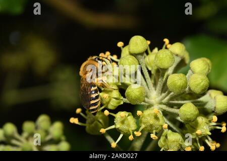 The Ivy Bee,Colletes hederae, is a species of mining bee first recorded in Britain in 2001. It forages almost exclusively at flowers of Ivy, and flies - Stock Photo