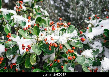 Red berries on green bushes in winter and covered with snow. Winter concept.Closeup image of red berries on the branch covered by snow.