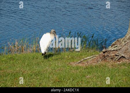 A wood stork sitting alongside a pond is a large American wading bird in the stork family Ciconiidae. It is found in subtropical and tropical habitats - Stock Photo