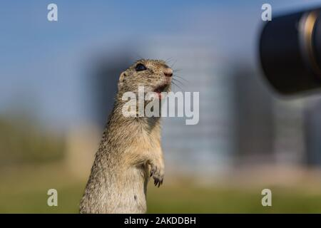 Funny looking brown European ground squirrel standing on green grass with open mouth in surprise watching black lense of a camera. Blue sky in backgr. - Stock Photo