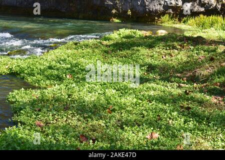 Watercress growing in Welch Spring, on the Current River, near Jadwin MO - Stock Photo