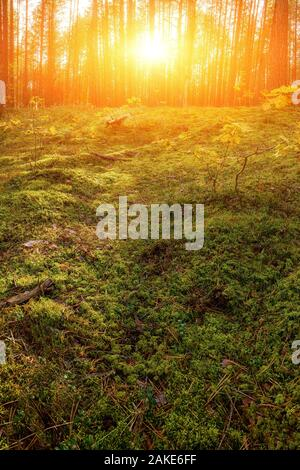 Lovely Sunset Behind The Forrest In Russia. Sunrise In A Forest, Sunbeams Through The Trees - Stock Photo