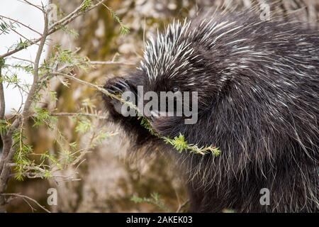 North American porcupine (Erethizon dorsatum), feeding on a young spruce tree. Vermont, USA. (Habituated rescued individual returned to the wild) - Stock Photo