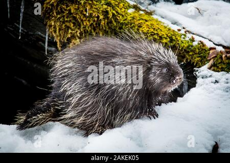 North American porcupine (Erethizon dorsatum), leaving its rocky den, Vermont, USA. (Habituated rescued individual returned to the wild) - Stock Photo