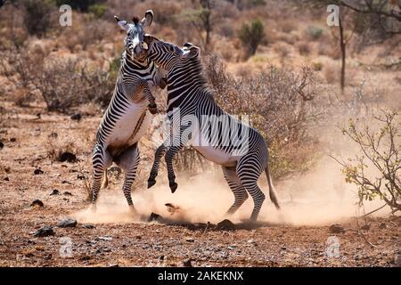 Grevy zebra (Equus grevyi) stallions fighting, Samburu National Reserve, Kenya. - Stock Photo