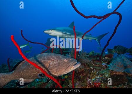 Black grouper (Mycteroperca bonaci) and Caribbean Reef Shark (Carcharhinus perezi), Jardines de la Reina / Gardens of the Queen National Park, Caribbean Sea, Ciego de Avila, Cuba, January - Stock Photo
