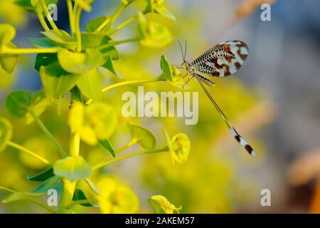 Spoonwing / Thread-winged antlion (Nemoptera bipennis) Sierra de Grazalema Natural Park, southern Spain. July