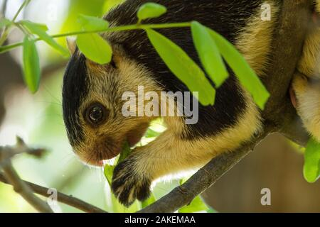 Grizzled giant squirrel (Ratufa macroura) feeding, Cauvery Wildlife Sanctuary, Karnataka, India. - Stock Photo